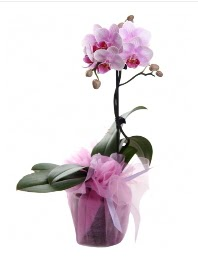 1 dal pembe orkide saksı çiçeği  Adana kaliteli taze ve ucuz çiçekler