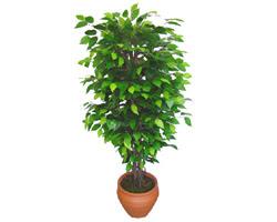 Ficus Benjamin 1,50 cm   Adana anneler günü çiçek yolla
