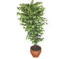 Ficus özel Starlight 1,75 cm   Adana cicek , cicekci