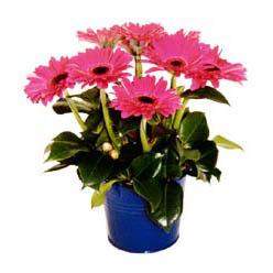 vazo içerisinde gerbera çiçekleri   Adana online çiçek gönderme sipariş