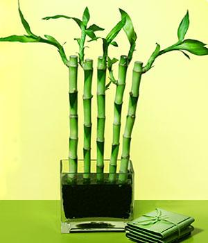 Adana anneler günü çiçek yolla  Good Harmony Lucky Bamboo camda