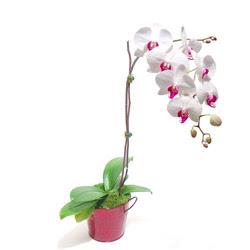Adana çiçek gönderme  Saksida orkide