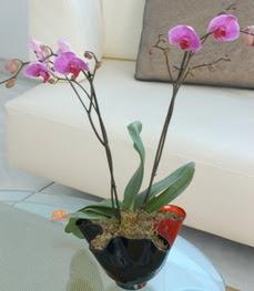 Adana çiçekçi mağazası  tek dal ikili orkide saksi çiçegi