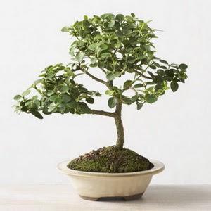 ithal bonsai saksi çiçegi  Adana çiçek online çiçek siparişi