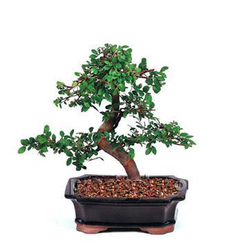 ithal bonsai saksi çiçegi  Adana çiçek siparişi vermek