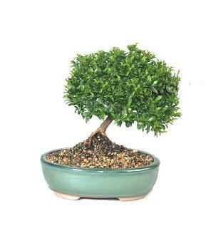 ithal bonsai saksi çiçegi  Adana cicekciler , cicek siparisi