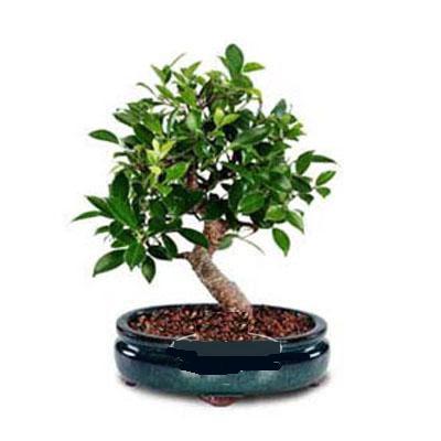 ithal bonsai saksi çiçegi  Adana çiçek siparişi sitesi