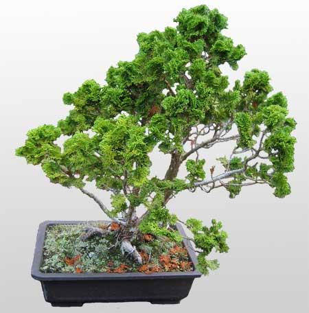 ithal bonsai saksi çiçegi  Adana İnternetten çiçek siparişi