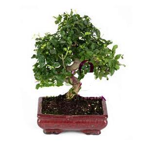 ithal bonsai saksi çiçegi  Adana anneler günü çiçek yolla