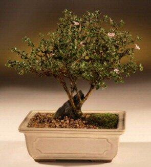 ithal bonsai saksi çiçegi  Adana çiçek mağazası , çiçekçi adresleri