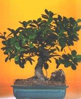 Adana çiçekçi telefonları  ithal bonsai saksi çiçegi  Adana internetten çiçek siparişi