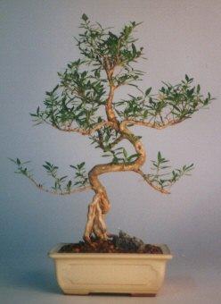 Adana çiçek satışı  ithal bonsai saksi çiçegi  Adana çiçek siparişi vermek