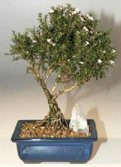 Adana çiçek , çiçekçi , çiçekçilik  ithal bonsai saksi çiçegi  Adana online çiçek gönderme sipariş