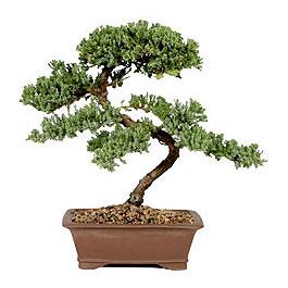 ithal bonsai saksi çiçegi  Adana çiçek gönderme sitemiz güvenlidir
