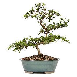 Adana İnternetten çiçek siparişi  ithal bonsai saksi çiçegi  Adana çiçek gönderme sitemiz güvenlidir