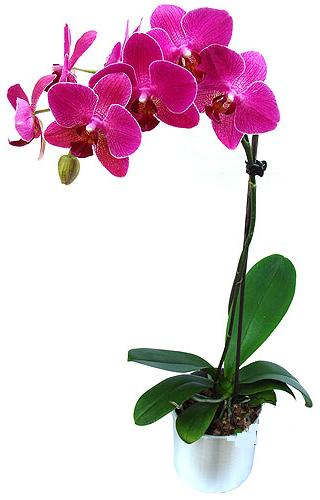 Adana çiçekçi mağazası  saksi orkide çiçegi