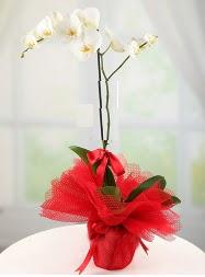 1 dal beyaz orkide saksı çiçeği  Adana yurtiçi ve yurtdışı çiçek siparişi