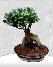 saksı çiçeği japon ağacı bonsai  Adana kaliteli taze ve ucuz çiçekler