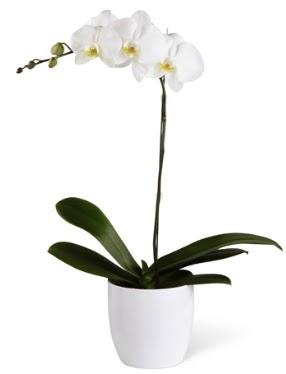 1 dallı beyaz orkide  Adana 14 şubat sevgililer günü çiçek