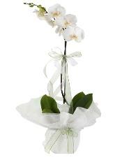 1 dal beyaz orkide çiçeği  Adana çiçek siparişi vermek