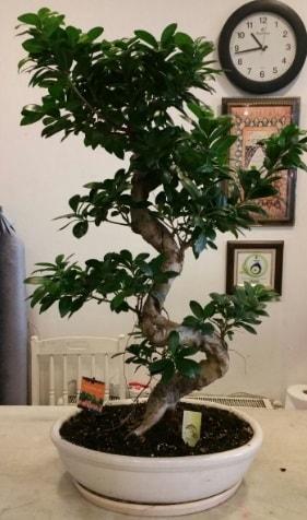 100 cm yüksekliğinde dev bonsai japon ağacı  Adana İnternetten çiçek siparişi