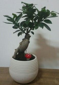 Bonsai japon ağacı saksı çiçeği  Adana çiçek gönderme sitemiz güvenlidir