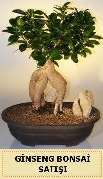 İthal Ginseng bonsai satışı japon ağacı  Adana çiçek siparişi sitesi