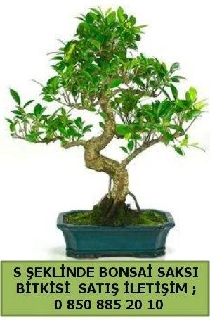 İthal S şeklinde dal eğriliği bonsai satışı  Adana çiçek gönderme