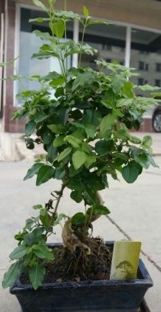 Bonsai japon ağacı saksı bitkisi  Adana çiçek siparişi vermek
