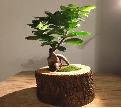 Doğal kütükte Bonsai japon ağacı satışı  Adana internetten çiçek satışı