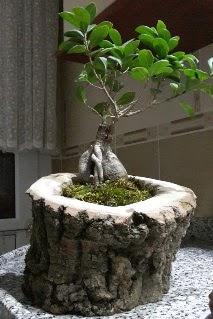 Ahşap kütük içerisinde ginseng bonsai  Adana internetten çiçek siparişi