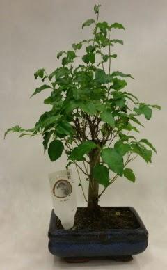 Minyatür bonsai japon ağacı satışı  Adana çiçekçi telefonları