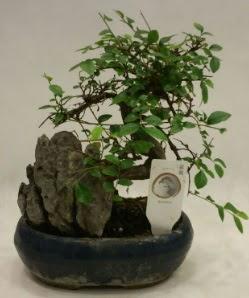 İthal 1.ci kalite bonsai japon ağacı  Adana çiçek satışı