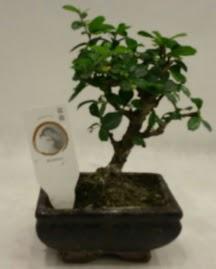 Küçük minyatür bonsai japon ağacı  Adana çiçek gönderme