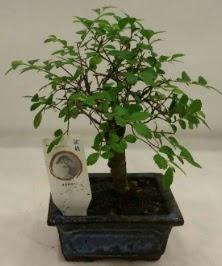 Minyatür ithal japon ağacı bonsai bitkisi  Adana çiçek satışı