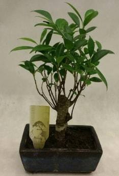 Japon ağacı bonsai bitkisi satışı  Adana çiçekçi telefonları