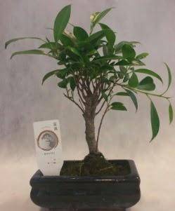 Bonsai japon ağacı bitkisi satışı  Adana çiçek gönderme sitemiz güvenlidir