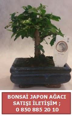 Japon ağacı minyaür bonsai satışı  Adana çiçek satışı