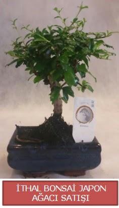 İthal küçük boy minyatür bonsai ağaç bitkisi  Adana çiçekçi telefonları