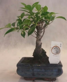 Bonsai ağacı japon ağaç bitkisi  Adana çiçek yolla