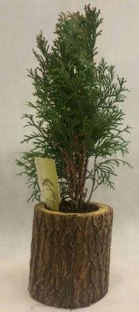 SINIRLI STOK Selvi Bonsai Doğal kütükte  Adana İnternetten çiçek siparişi