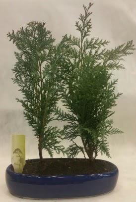 SINIRLI SAYIDA Selvi Ağacı bonsai ikili  Adana çiçekçi telefonları