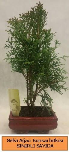 Selvi ağacı bonsai japon ağacı bitkisi  Adana çiçek satışı