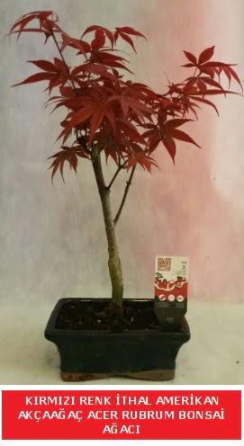 İTHAL ACER RUBRUM BONSAİ AĞACI  Adana çiçek gönderme sitemiz güvenlidir