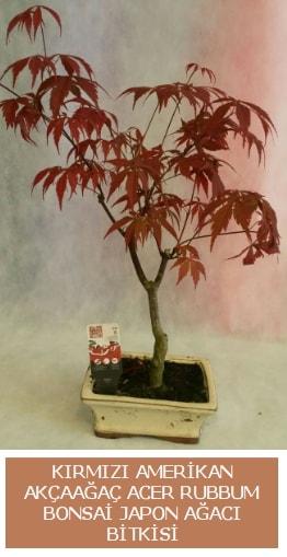 Amerikan akçaağaç Acer Rubrum bonsai  Adana uluslararası çiçek gönderme