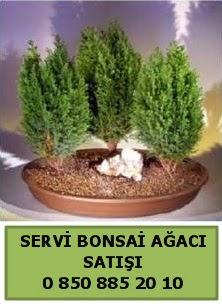 BONSAİ 3 LÜ SERVİ BONSAİ AĞACI  Adana çiçekçi telefonları