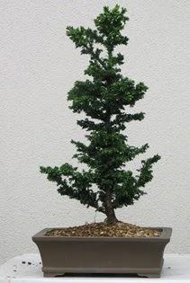 Çam ağacı bonsai bitkisi satışı  Adana çiçekçi telefonları