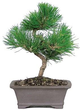Çam ağacı bonsai japon ağacı bitkisi  Adana çiçek gönderme