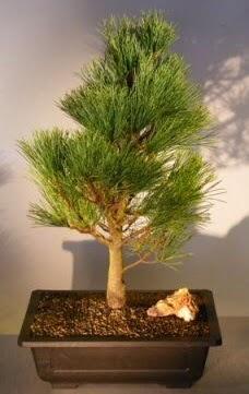 Çam ağacı japon ağacı bitkisi bonsai  Adana çiçekçi telefonları