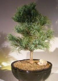 Çam ağacı bonsai bitkisi satışı  Adana ucuz çiçek gönder